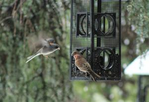 Junco joining finches for lunch