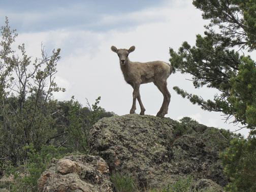 Baby Rocky Mountain Sheep