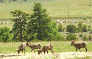Bighorn sheep Graze