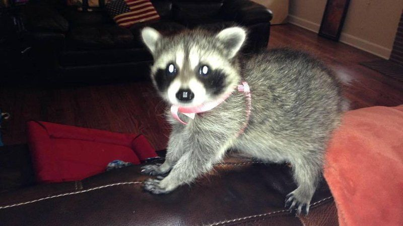 Couple Upset After Pet Raccoon Confiscated, Killed | News ... Raccoons As Pets