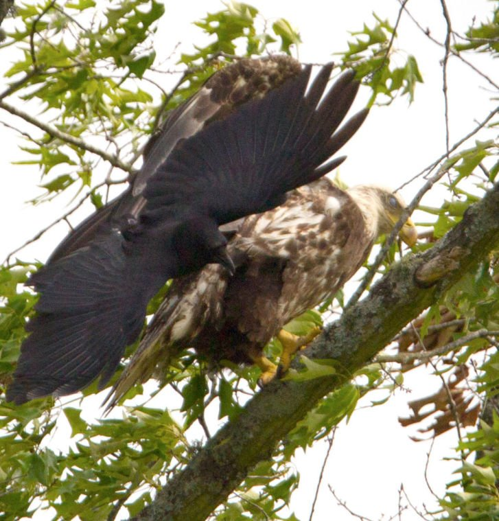 Eagle Sighting and Fighting Crow