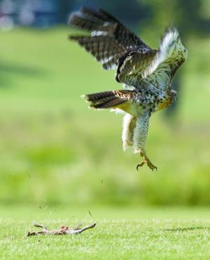 Red-tailed hawk (chows) down