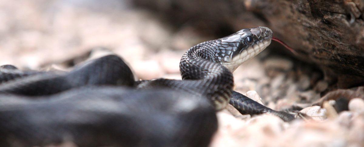 Alabama black snake 2 - 3 part 5