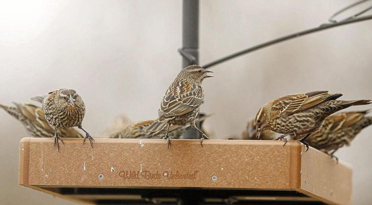 photo gallery the great backyard bird count at the oxley nature