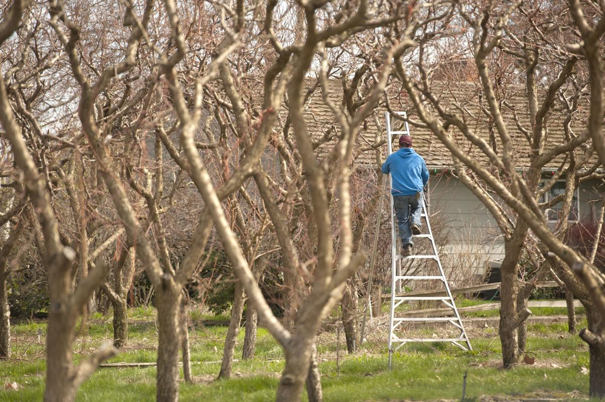Future of small family farms uncertain in region business union - Spring trimming orchard trees healthy ...