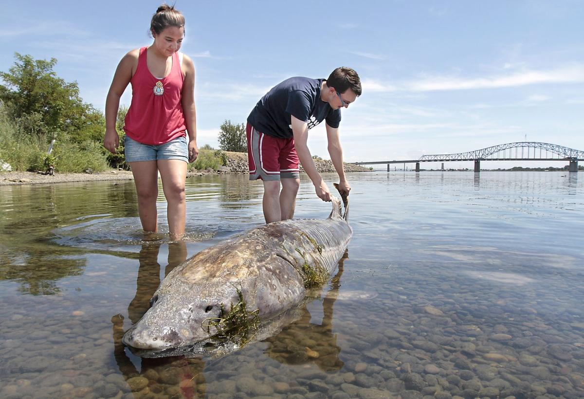 Mystery why are columbia river sturgeon dying video for Sturgeon fishing washington