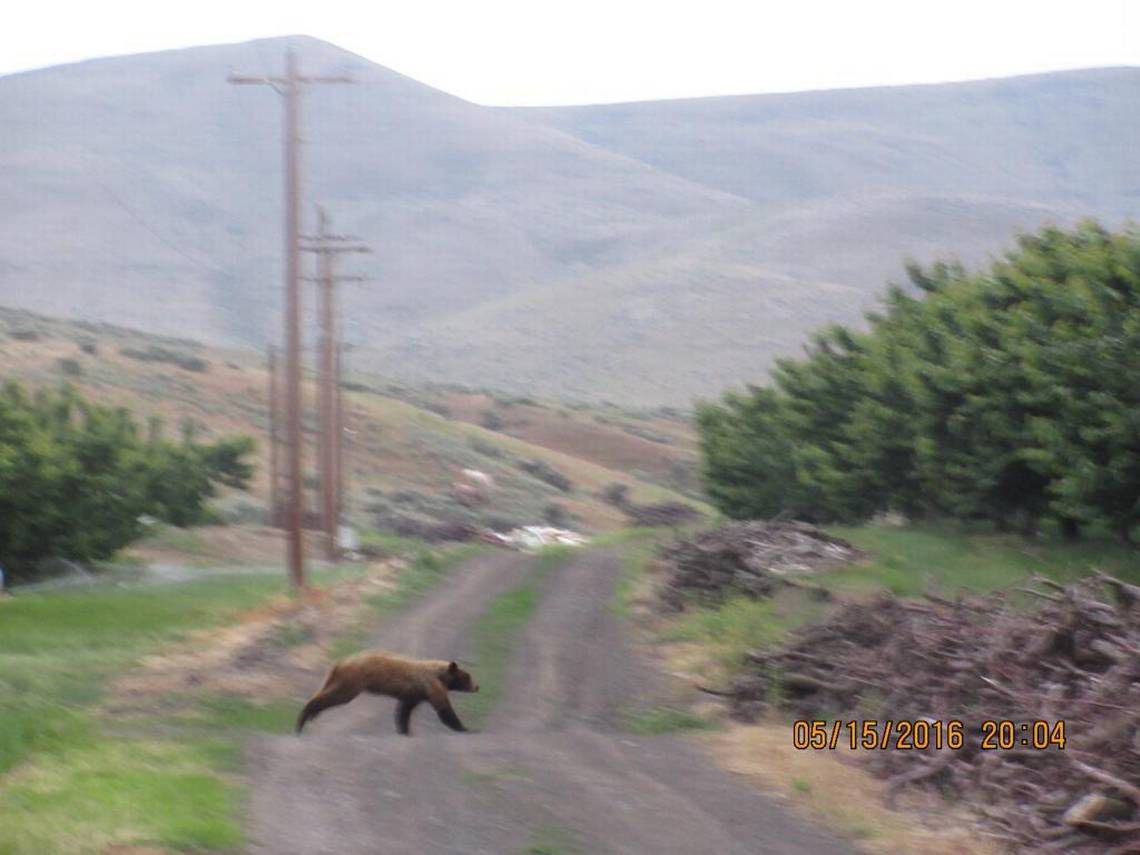 Black bear spotted in prosser area orchards local for Washington dc fishing license