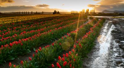 Tulip Festival Reimagined for 2021