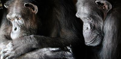 chimp-featured