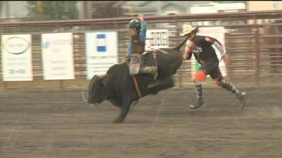 miniature bull riding growing in popularity sports