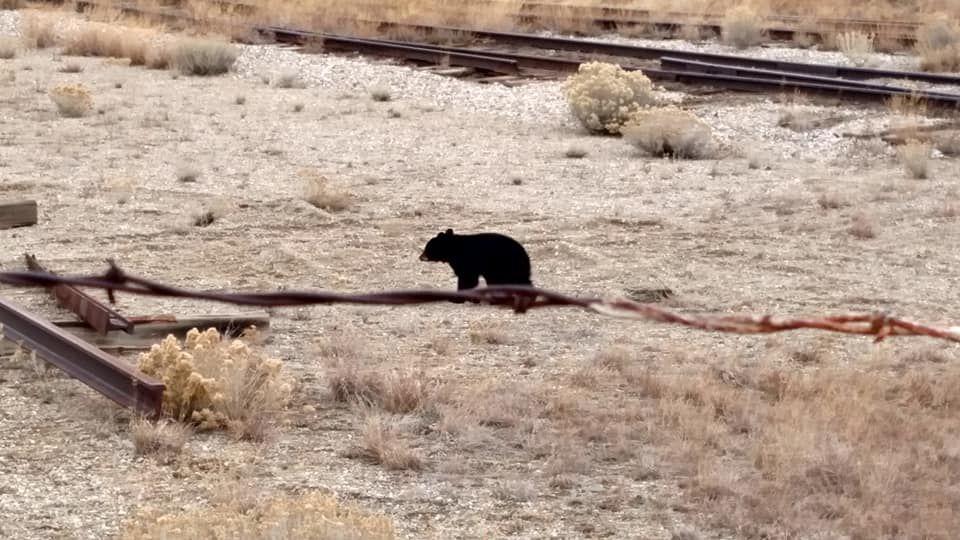 Black bear found in anaconda