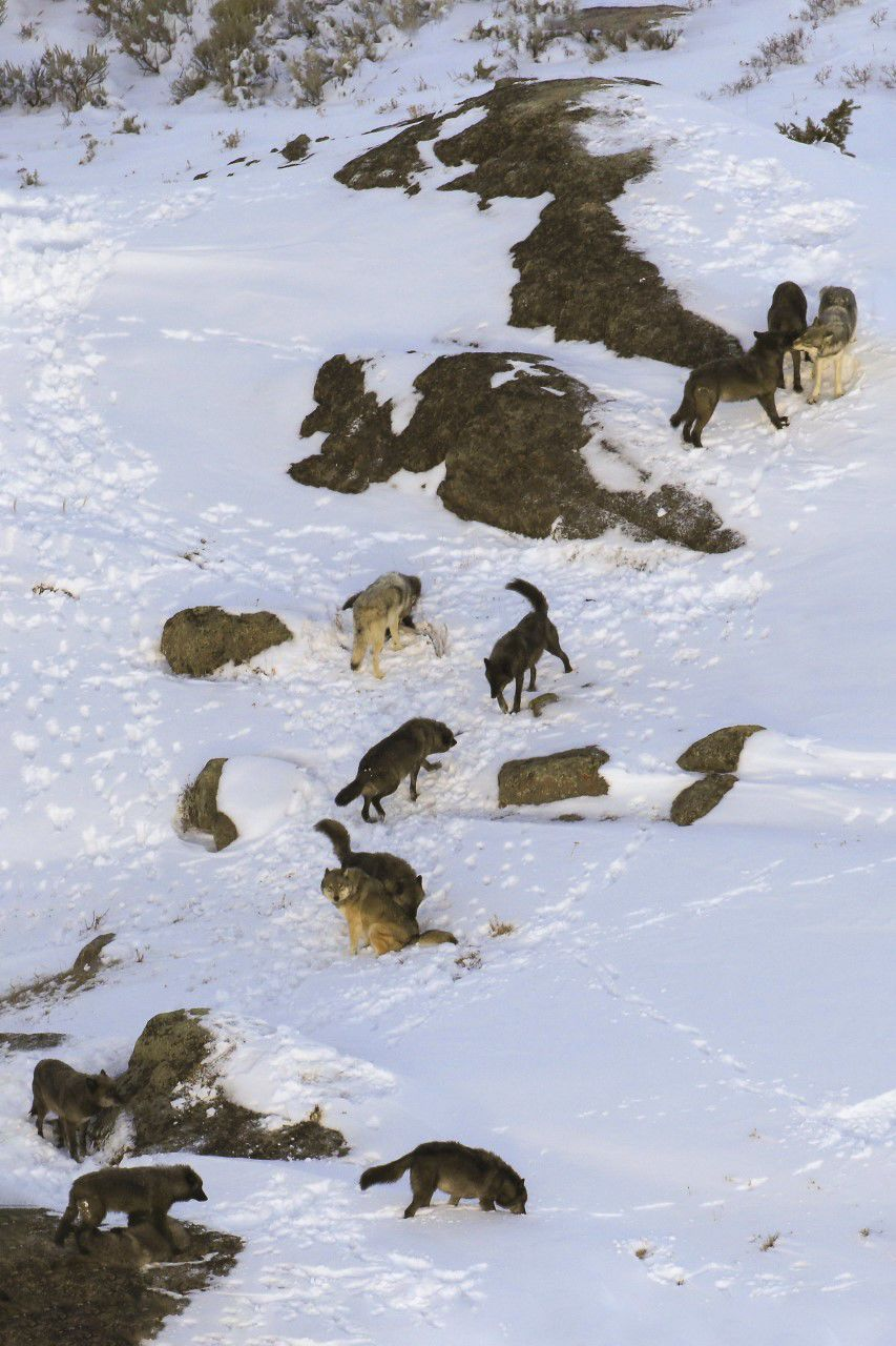 Junction Butte Pack wolves 2