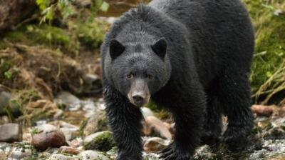 Black Bear Captured and Euthanized in Glacier National Park