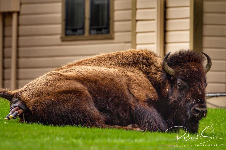 Bison Birth 1