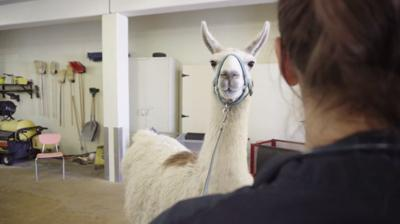 Lewis the Llama dental surgery
