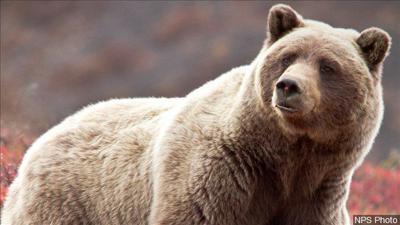 Yellowstone Grizzly back on endangered list