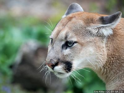 FWP asking for public comment on Mountain Lion Management