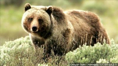 The bears are back, what Gallatin County Search and Rescue is asking you to do if you have a run in