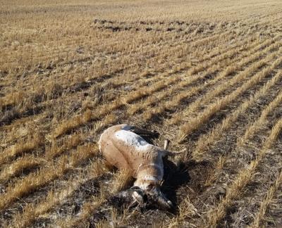 Antelope buck rundown