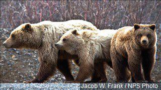 Legislator looks to delist Grizzlies from endangered species list