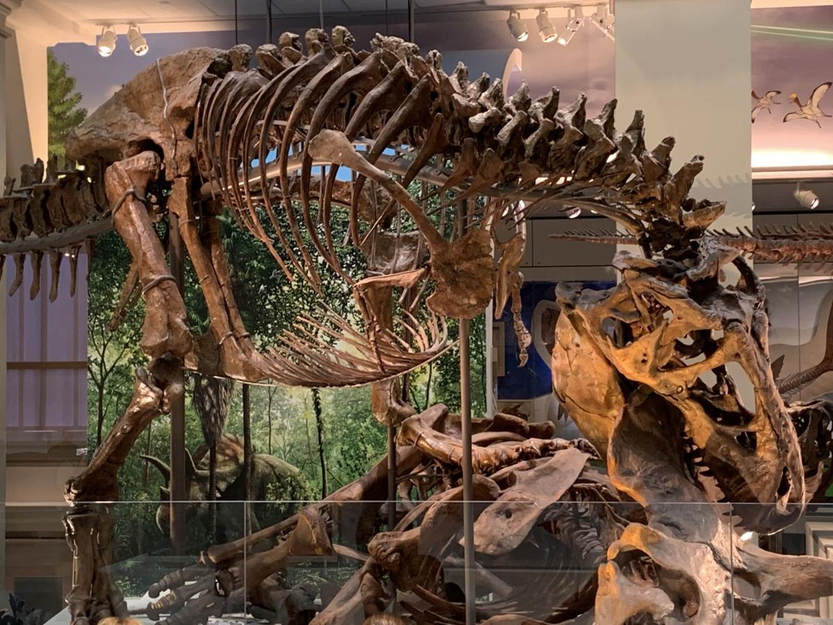 Montanas T-Rex goes on display in Washington D.C.