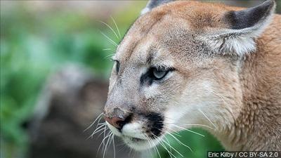 Cougar/Mountain Lion