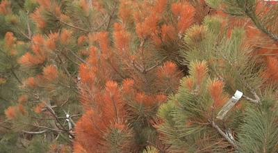 You Asked: Why are our pine trees so brown?