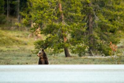 glacier park bear crossing road