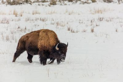 Bison walking in snow