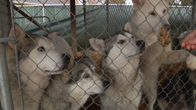 Nearly 40 huskies rescued from property in Bitterroot mountains