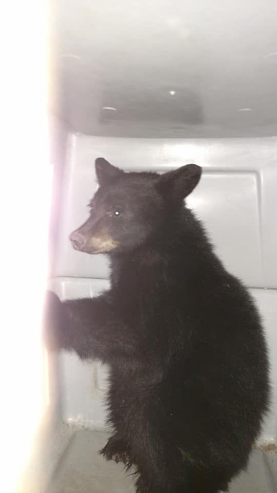Black bear transported to helena