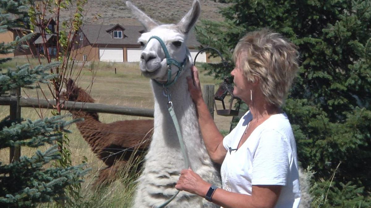 Lewis the llama