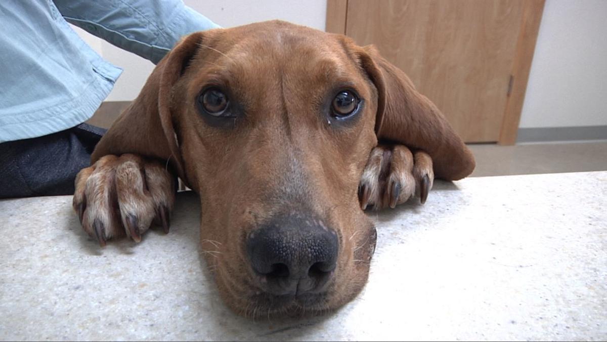 Amos (Stafford Animal Shelter) dog
