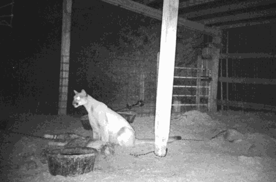 Mountain lion in Frenchtown caught on camera after eating pigs