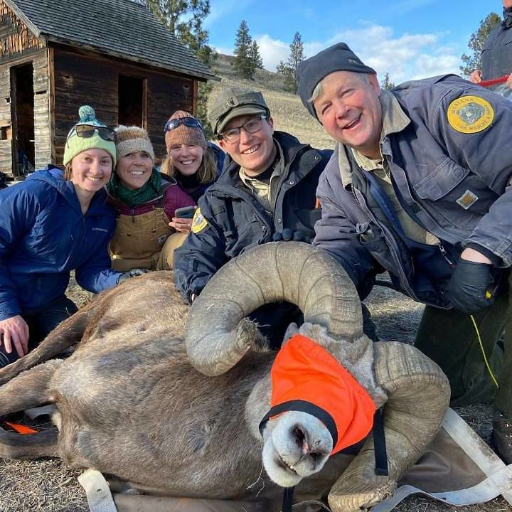 FWP workers with bighorn sheep