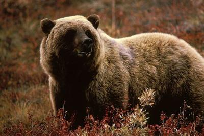 First grizzly in recent memory seen at Montana refuge