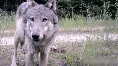 Wolves habituating in Cooke City; possibly baited in by people