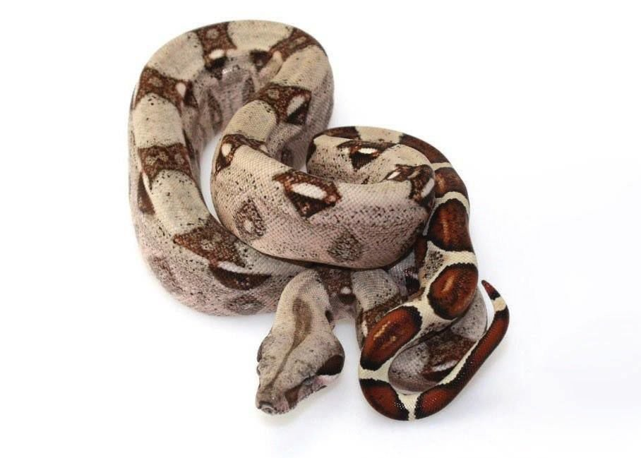 Example of Red Tail Boa Constrictor
