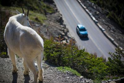 Mountain goat overlooking road in Glacier National Park