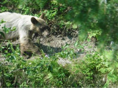 Black bear and mountain lion sightings throughout the region