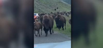 bison stampede on camera