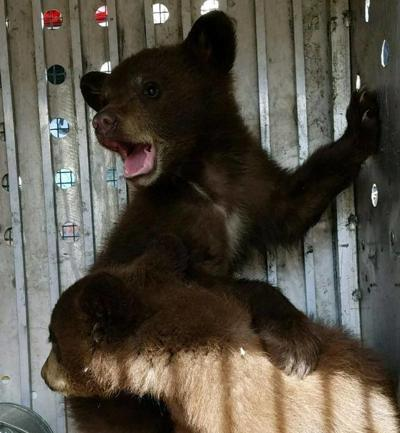 Black bear with two cubs captured in Seeley Lake