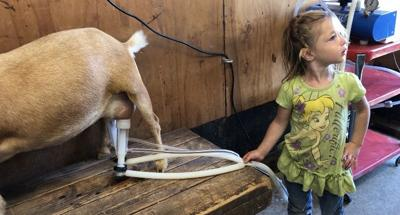 A family's 4-H dairy goats helping their lactose intolerant daughter