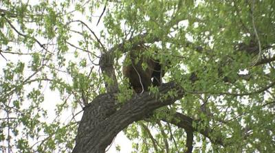 Bear legally harvested north of Laurel