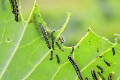 caterpillars on crops.jpeg