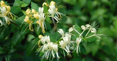 japanese-honeysuckle.jpg