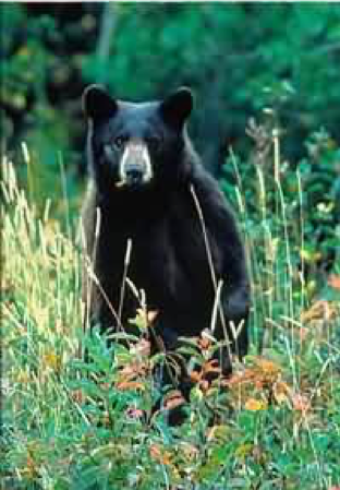 Black Bear 2.png