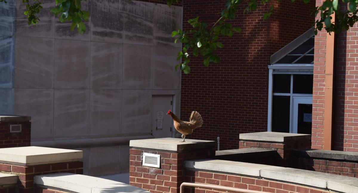 Courtney the Courthouse Chicken