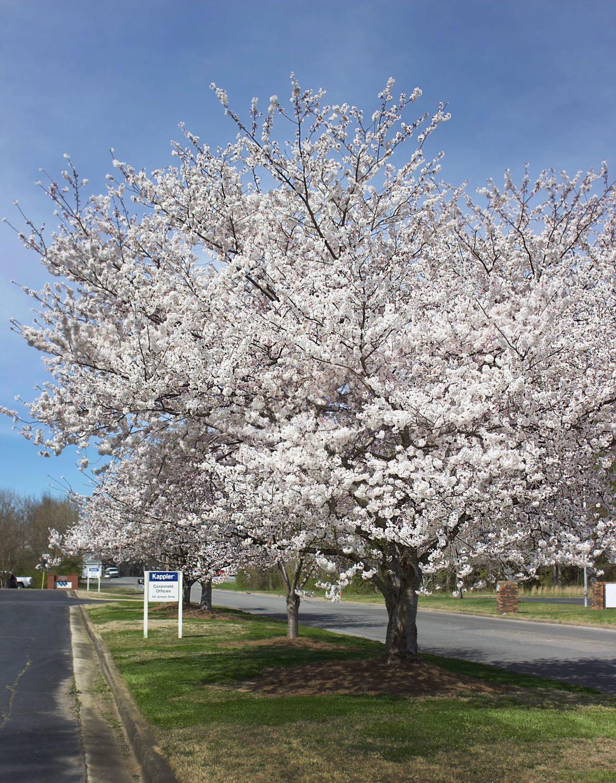 A Kappler Cherry