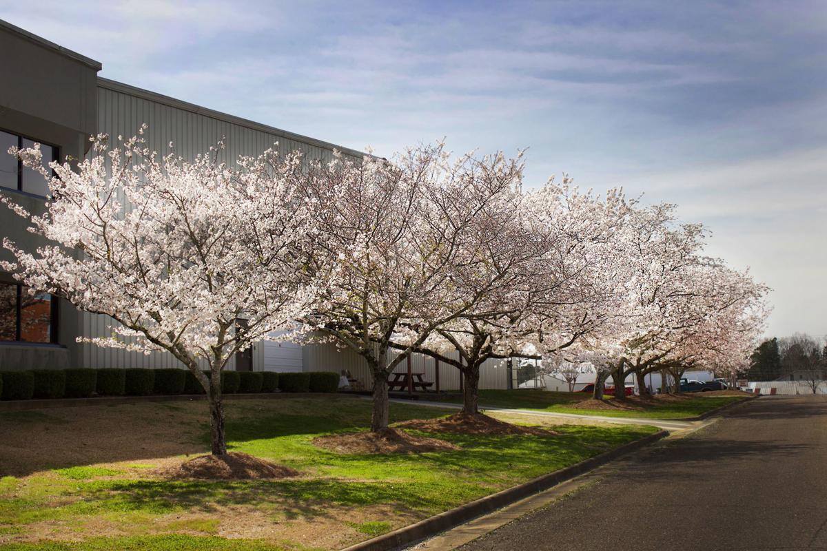 Kappler Cherry Trees